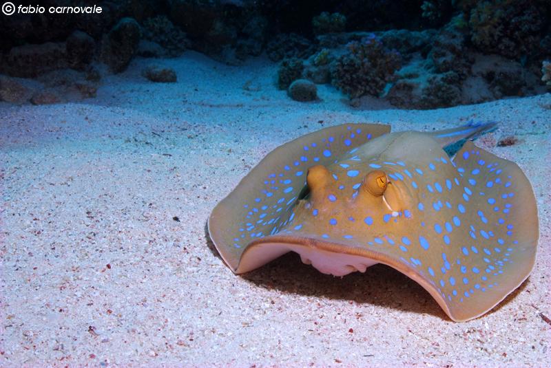 Sub tropicali for Pesce rosso razza